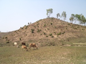 Cattle looking for grass in a burnt out hillock