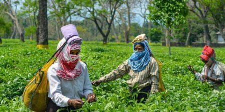 tea-garden-pti-assam-1200x600